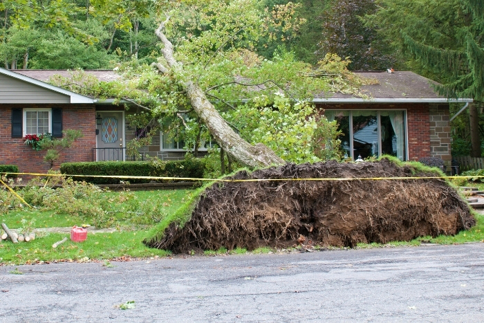 Tree ripped out by roots lays on house following wind storm